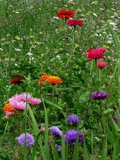 FOTKA - Astry kvetou na svobodě - na louce!