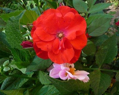 FOTKA - Růžový polibek