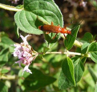 FOTKA - Chlupatá rostlina a hladký červený hmyzík