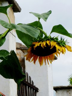FOTKA - Plot a slunečnice