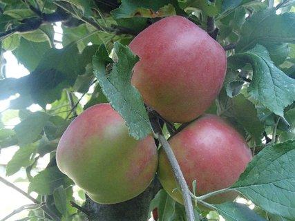 FOTKA - jabĺčka dozrievajú