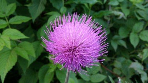 FOTKA - Vysoké Tatry - vysokohorská květina