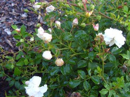 FOTKA - bílé drobné růžičky
