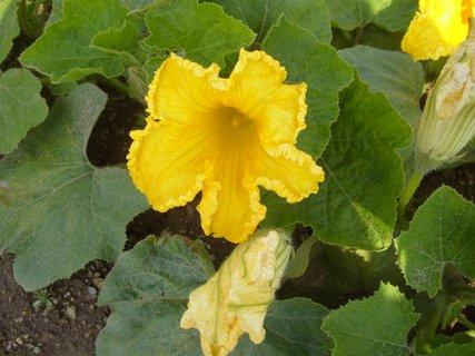 FOTKA - kvetoucí tykev