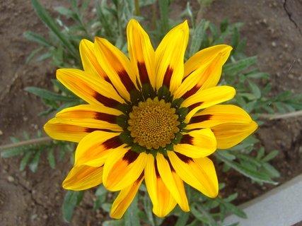 FOTKA - detail žluté gazánie