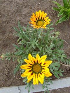 FOTKA - první dva květy