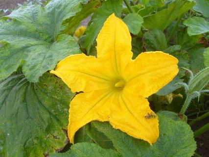 FOTKA - květ dýně