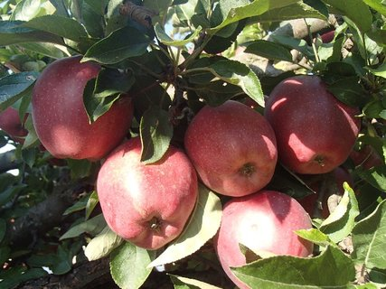 FOTKA - zimné jabĺčka