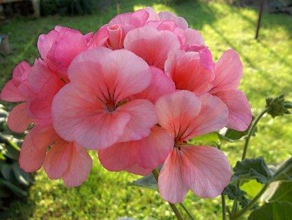 FOTKA - náš růžový
