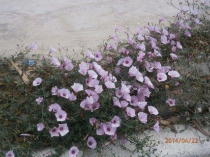 FOTKA -  skromně kvetu ve škvírách u chodníku