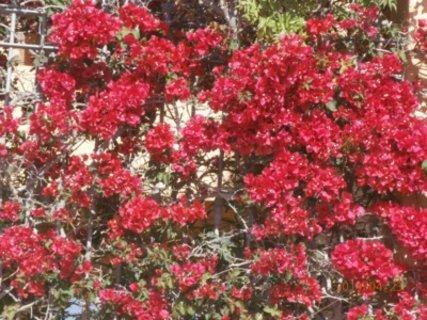 FOTKA -  jsem pěkně červená bougainvillea