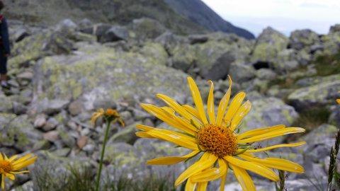FOTKA - Vysoké Tatry - žlutý květ.
