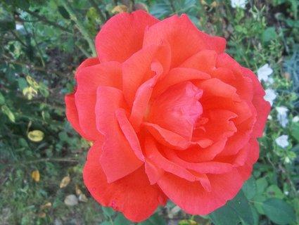 FOTKA - Včerejší růže