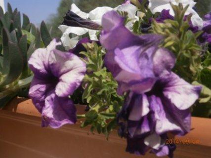 FOTKA -  fialkový melír