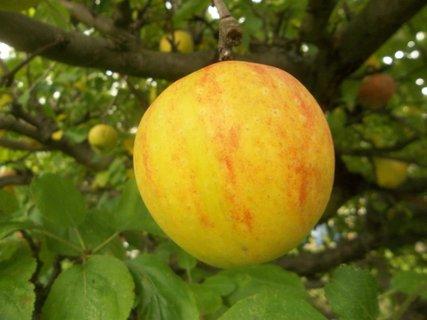 FOTKA - naše jablíčko