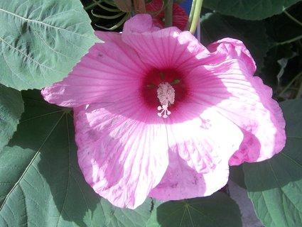 FOTKA - Růžový květ