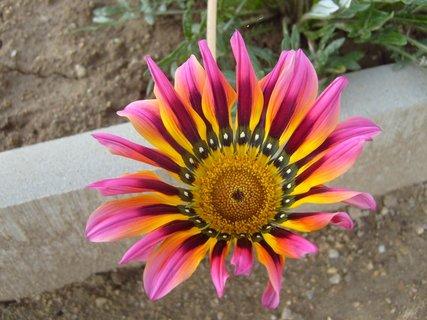 FOTKA - květ gazánie  -  detail