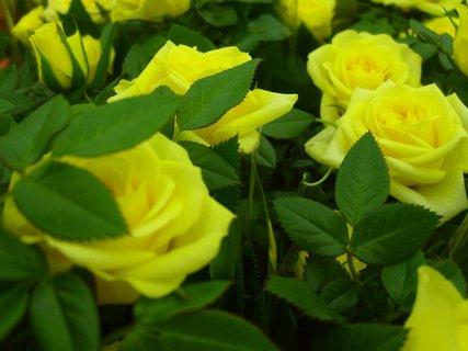 FOTKA - růže z oslavy narozenin