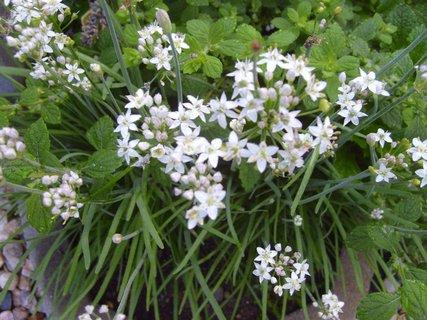 FOTKA - kvetoucí česneková pažitka