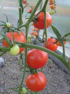 FOTKA - rajčata ve skleníku