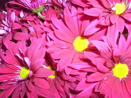 FOTKA - Chryzantémy