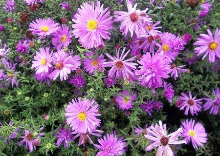 FOTKA - Bleděfialková kvítečka