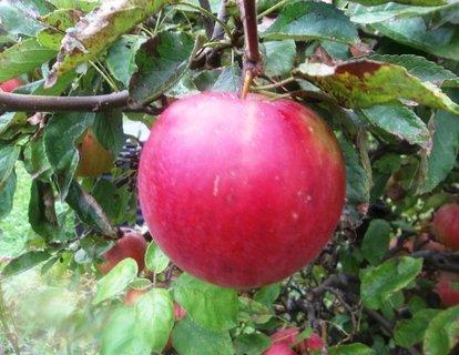FOTKA - Jablíčko na stromě