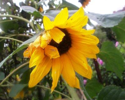 FOTKA - Malá slunečnice