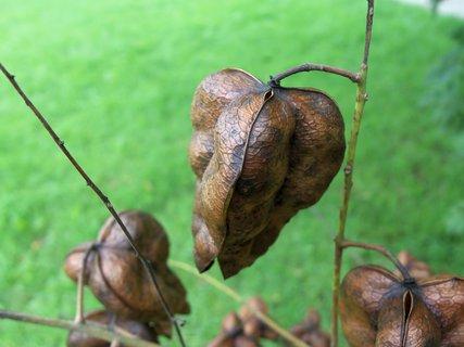 FOTKA - hnědý semenáč