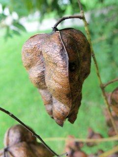 FOTKA - semenáč na větvi