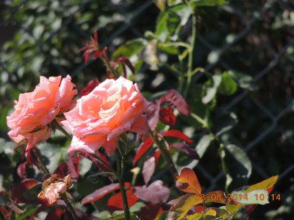 FOTKA - Růžička 8.8. 2014