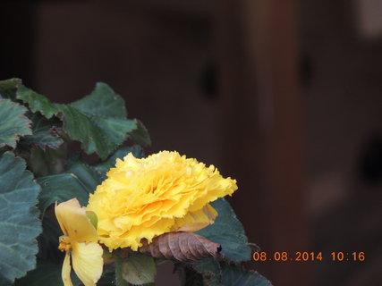 FOTKA - Begonka žlutá 8.8. 2014