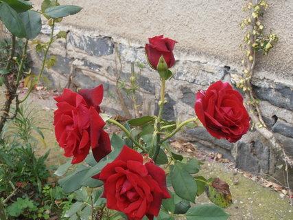 FOTKA - Červená růžička 14.8. 2014