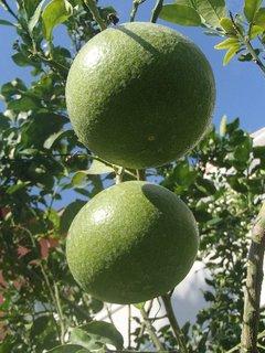 FOTKA - Turecko-citrónovníky
