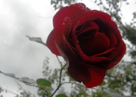 FOTKA - růže a sobotní šed´