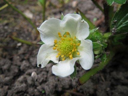 FOTKA - podzimni jahodovy kvitek