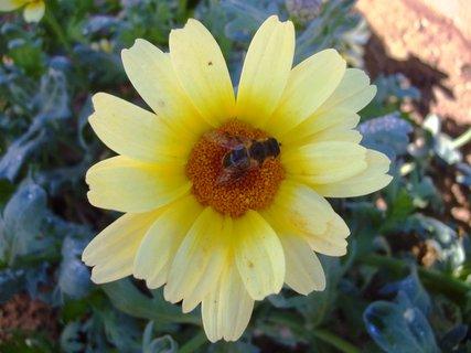 FOTKA - pilná včelička