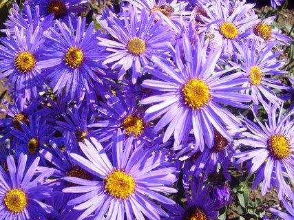 FOTKA - modré podzimní kytičky