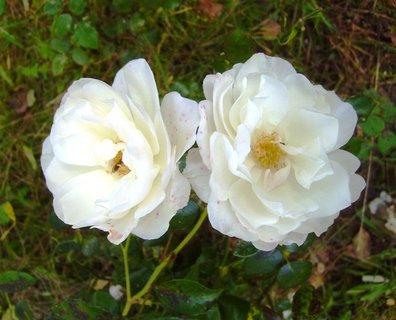 FOTKA - dva bílé květy
