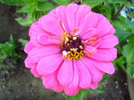 FOTKA - Cínie - růžová
