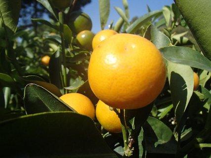 FOTKA - Turecko-drobné citrónovníky