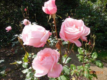FOTKA - růže růžová