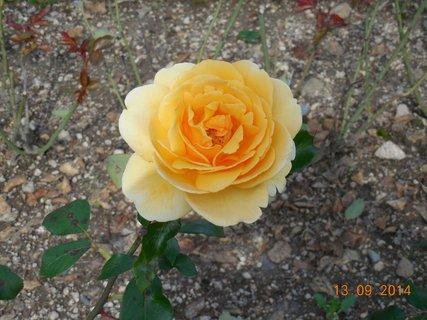 FOTKA - žlutá růže-voněla moc pěkně