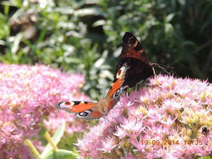 FOTKA - Motýlci na rozchodníku 19.9.2014