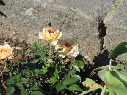FOTKA - Drobnokvětá růžička žlutavá 19.9.2014