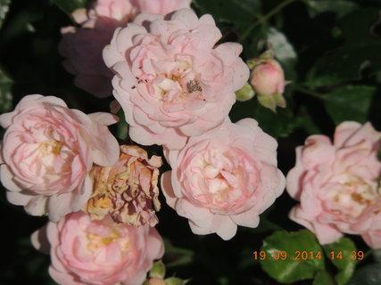 FOTKA - Drobnokvětá růžička růžová 19.9.2014