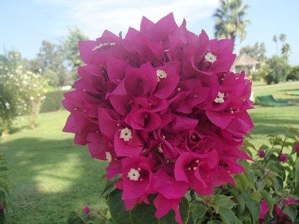 FOTKA - Turecko-ružica kvetov