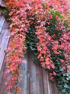 FOTKA - Listy zbarvené do červena
