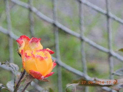 FOTKA - Žlutá růžička s červeným lemem 27.9.2014