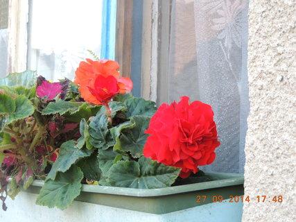 FOTKA - Červená begonka na okně 27.9.2014